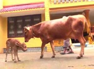 Фермер испытал шок, увидев, какого телёнка родила его корова