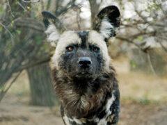 Воспользовавшись ураганом, гиеновые собаки устроили кровавую баню в сафари-парке