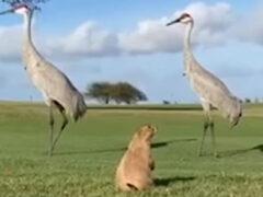 Знакомство луговой собачки с журавлями получилось непродолжительным