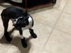 Собаке абсолютно не понравилось то, что её обули