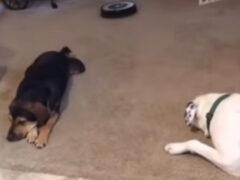 Робот-пылесос поссорил двух собак на ровном месте