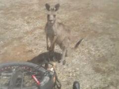 Попытка помочь кенгуру оказалась неблагодарным занятием