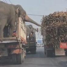 Слоны, попавшие в пробку, не расстроились, а решили наворовать себе еды
