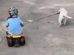 Игривый щенок забыл, что тянет за собой ценный груз
