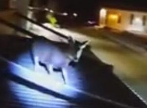 Прыгучий олень не захотел, чтобы его спасали с крыши