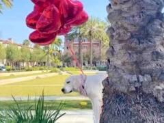 Хозяева-шутники заставили собаку «взлететь» на воздушных шариках