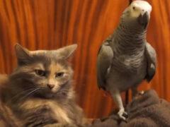 Люди позавидовали терпеливости кота, к которому приставал попугай