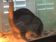 Кот, пришедший в гости к бородатому дракону, повёл себя совсем не вежливо