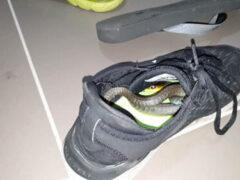 Змея нашла уютное укрытие в кроссовке