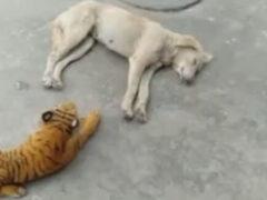 Игрушечный тигр оказался слишком страшным