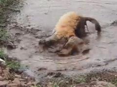 Увидев грязную лужу, пёс потерял контроль над собой