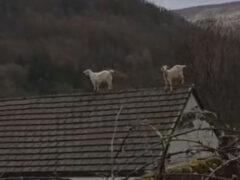 Непослушные козы на крыше рассердили хозяйку