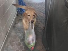 Умная собака всегда рада помочь своим хозяевам