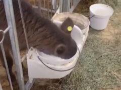 Неаккуратный телёнок напился молока носом