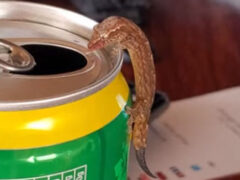 Маленькая ящерка оказалась большой любительницей ананасового сока и пива