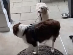Псу не нужны хозяева, чтобы погулять самому и выгулять брата