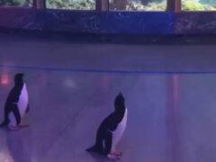 Воспользовавшись отсутствием посетителей, пингвины отправились погулять по океанариуму