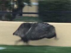 Спешащая по важным делам свинья удивила всех своей проворностью