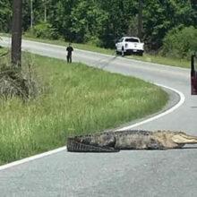 Аллигатора, принимавшего солнечную ванну, поймали и отправили в болото