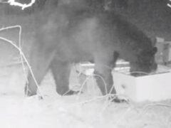 Медведь-сладкоежка повадился воровать мёд из ульев