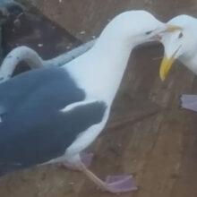 Даже проглотив рыбину, чайка не смогла удержать её слишком долго