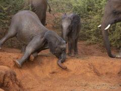 Слонёнок, упавший в пыльную яму, вышел из этого положения как ни в чём не бывало