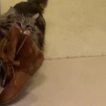 Взяв из приюта кошку, женщина поняла, что никогда не останется без обуви