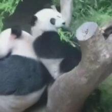 Неуклюжая панда не дала маме спокойно утолить голод