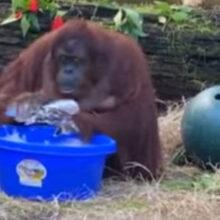 Орангутанг, начавший мыть руки, подаёт пример людям