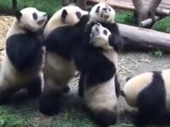 В ожидании угощения панды продемонстрировали нежелание делиться