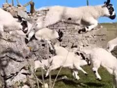 Ягнята, спешащие к своим мамам, заворожили фермера