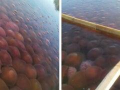 Очевидцев поразило огромное количество медуз в воде