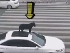 Водитель прокатил на крыше своей машины четвероногую пассажирку
