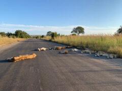 Воспользовавшись отсутствием туристов, львы позволили себе немного расслабиться