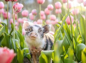 Симпатичной свинье устроили фотосессию в розовых тюльпанах