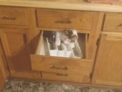 Четвероногая непоседа застряла в кухонном ящике