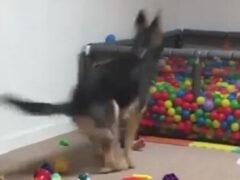 Собака уверена, что бассейн с мячами предназначен для её удовольствия