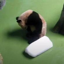 Панде, страдающей от жары, не сразу удалось справиться с куском льда
