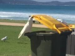Умный попугай помог друзьям утолить голод из мусорного бака