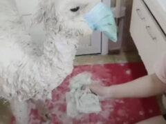 Альпака носит маску, но вовсе не из страха перед вирусом